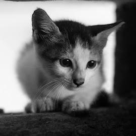 Being simple..! by Rahul Kunhiraman - Animals - Cats Kittens ( simple, white, cute, kitty, black )