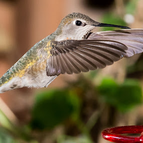 Hummer by Jim Malone - Animals Birds