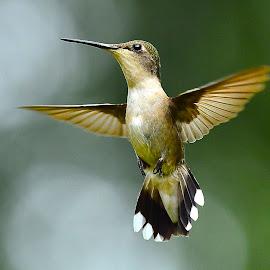Iron Cross by Roy Walter - Animals Birds ( flight, animals, nature, wings, wildlife, birds, hummingbirds,  )
