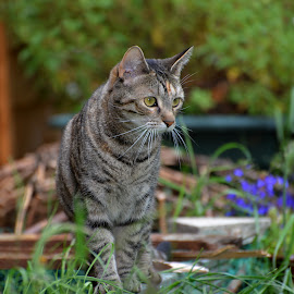 Garden Hunter by Philip Watts - Animals - Cats Portraits ( hunter, cat, tortoiseshell, garden )