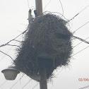 Monk Parrot Nest