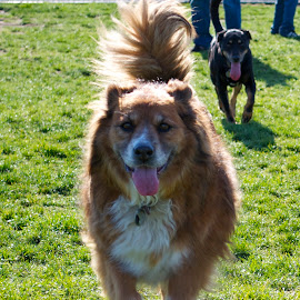 Happy Dog Park Doggies by Greg Koehlmoos - Animals - Dogs Running ( dogs smile, smiling dogs, dog smiles, laughing dogs, running dogs, happy dogs,  )