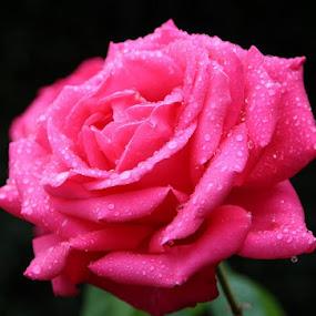Rose by Graça Cortez - Flowers Single Flower (  )