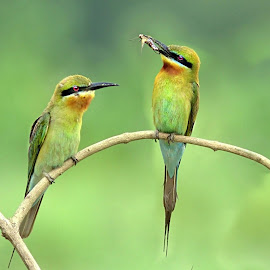 Blue-tailed bee-eater with a catch by Prasanna Bhat - Animals Birds