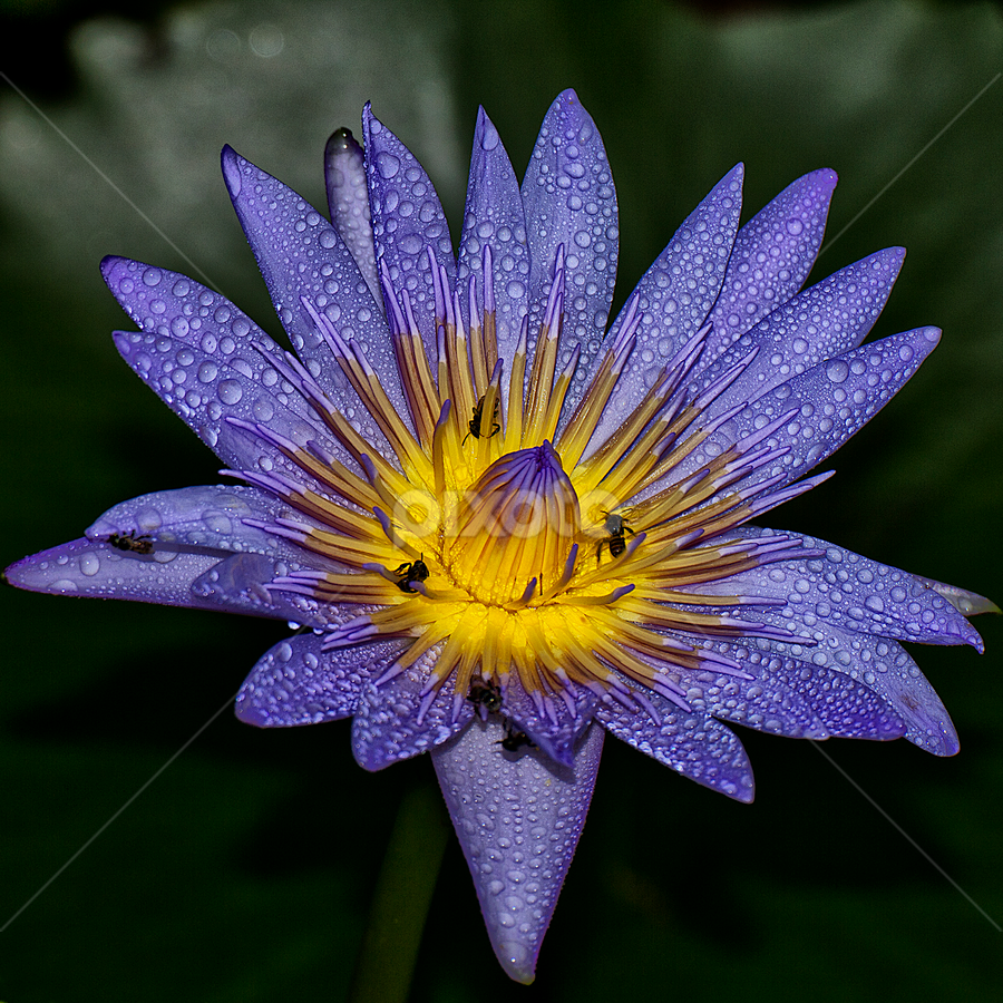 The Nectar by Charliemagne Unggay - Nature Up Close Flowers - 2011-2013 ( water drops, bees, lily, nature, flower )