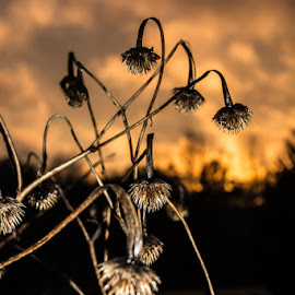 Sunset Pods by Sally Shoemaker - Nature Up Close Leaves & Grasses