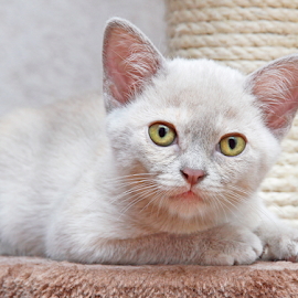 Interested by Mia Ikonen - Animals - Cats Kittens ( intelligent, finland, cute, interested, burmese )