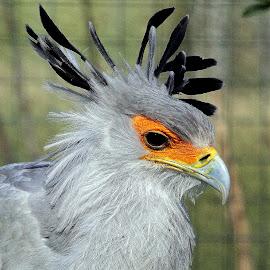 Secretary Bird by Ralph Harvey - Animals Birds ( bird, secretary bird, wildlife, ralph harvey, marwell zoo )