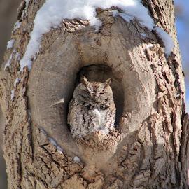 owl by Tina Marie - Animals Birds ( screech owl, owl, small owl,  )