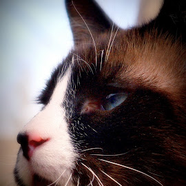 by Pam Satterfield Manning - Animals - Cats Portraits ( cat face, cat, animals, cat portrait, siamese, animal cat, cat kitten, animal,  )