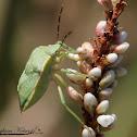 Uhler's Stink Bug