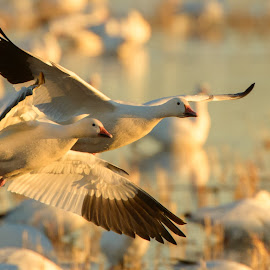 Snow Geese in Evening by Gerald VanDaele - Animals Birds ( bosque del apache, flying, november, nature, 2014, snow geese, wildlife, birds, new mexico,  )