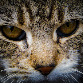 The Eyes Have It by Gary Hanson - Animals - Cats Portraits ( cat, whiskers, portrait, close, eyes )