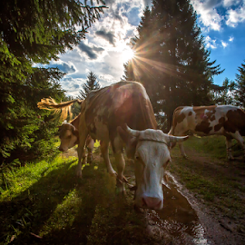 Cows at sunset by Stanislav Horacek - Animals Other Mammals