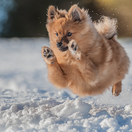 snow run  by Michael  M Sweeney - Animals - Dogs Puppies ( detail, puppies, d3, nikondog, snow, parks, perspective, wonderful, champion, showy, electric, charging, f4.5, jump, emotion, charming, winter, explosion, fast, low, tiny, scotland, natural light, nikon d3, joy, michael m sweeney, imagination, cute, run, nikond, running, character, real, emotions, dramatic, nikon, animal, nikonshooter, editorial, speed, up and down, glory, star, ace, fantastic, jumper, amazing, joyful, doggy, pro, 200mm, puppy, take off, dog, pomeranian, energy,  )