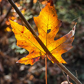 Hanging on before the Fall by Brent Morris - Nature Up Close Leaves & Grasses (  )