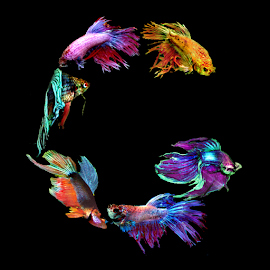 Fighting Fish G by Janna Morrison - Typography Words ( g )