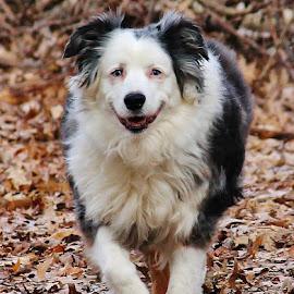 Happy Boy by Terry Butcher - Animals - Dogs Running ( australian shepard, dog park, winter, australian shepherd dog, fall, trail, dog playing, australian shepherd, dog portraits, fallen leaves, dog, woods,  )
