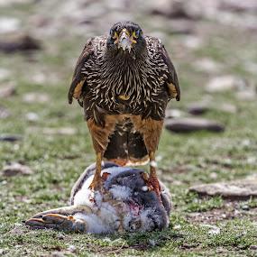 Striated Caracara Feeding by Jay Gould - Animals Birds ( caracara-striated, falklands, cheesemans, gentoo penguin, 2010, birds )