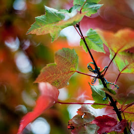 Fall color by Dave Lord - Nature Up Close Trees & Bushes ( red, fall colors, green, fall, wireguy )