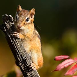 Chipmunk by Jill Beim - Animals Other Mammals ( animals, chipmunk, woodland, mammal,  )