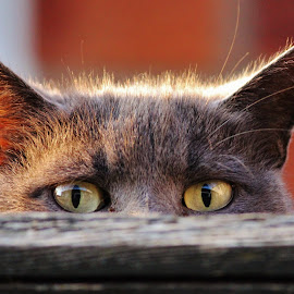 Peek A Boo cat by Frank Gray - Animals - Cats Portraits