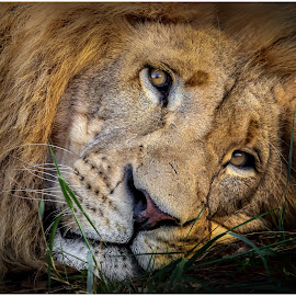 by Denis Smit - Animals Lions, Tigers & Big Cats (  )