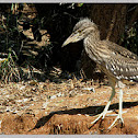 Night Heron(Juvenile)