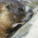 Yellow-Bellied Marmot ( rock chuck)
