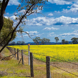 Green & Gold by Leonie Morris - Landscapes Prairies, Meadows & Fields ( canola, green, gold pretty, yellow, country victoria, country )