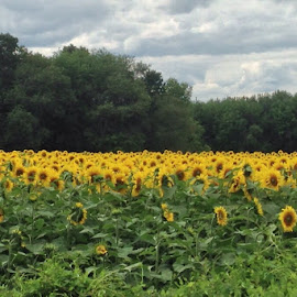 field of sunflowers by Gloria Warren - Landscapes Prairies, Meadows & Fields