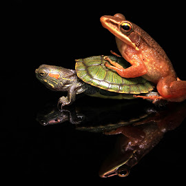 Frog Affair by Chandra Kushartanto - Animals Amphibians