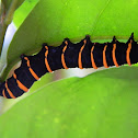 Themisto Amberwing caterpillar