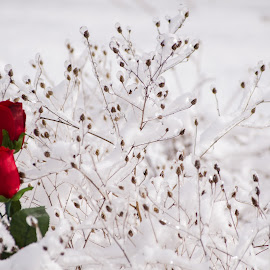 2 in the bush by Calvin Morgan - Landscapes Weather ( rose, winter, nature, ice, snow, flower )