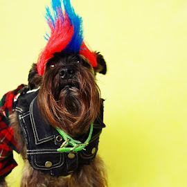 Rockin' Schnauzer by Christine Chambers - Digital Art Animals ( schnauzer, pets, dog, portrait, animal )
