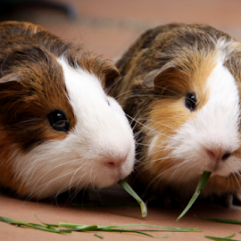 by Ana Cárdenas O - Animals Other Mammals ( curi, animals, nature, pets, couple, cuy, rodents, guinea pigs,  )