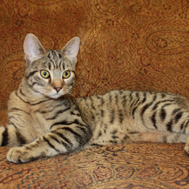 Kitty 2 by Sharon Scholtes - Animals - Cats Portraits ( cat, laying, brown, stripes, feline )