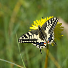 The Old World Swallowtail