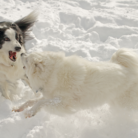 Round 1 by Melanie Melograne - Animals - Dogs Playing ( border collie, american eskimo, dogs playing )