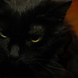 Feline Irritation by Pamela NavarraWilliams-Shane - Animals - Cats Portraits ( cat, irritated cat, cat portrait, yellow eyes, feline, black cat )