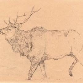 by Patti Cooper - Drawing All Drawing ( pencil, animals, elk )