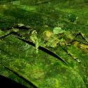 Camouflage Katydid.
