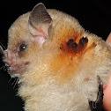 Little Yellow-Shouldered Bat
