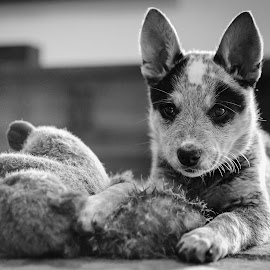 Little Blue Joule by Rick W - Animals - Dogs Portraits ( black and white, blue heeler, puppy, dog, portrait )