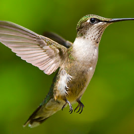 My Little Feet by Roy Walter - Animals Birds ( flight, animals, wings, hummingbird, wildlife, birds )