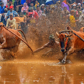 Pacu Jawi by Edwin Prajusa - News & Events Sports (  )