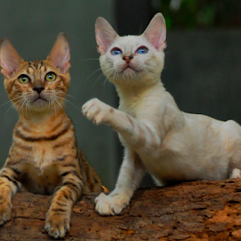 Bengal cats by Cacang Effendi - Animals - Cats Portraits ( cats, cattery, kitten, chandra, animal )