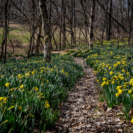 by Kevin Turner - City,  Street & Park  City Parks ( yellow flowers, forests, forrest, pathway, path, trees, daffodils, yellow, spring )