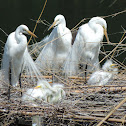 Great Egrets (nesting)