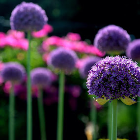Allium by Lisa Ehrlich - Flowers Flower Gardens ( , colorful, mood factory, vibrant, happiness, January, moods, emotions, inspiration )